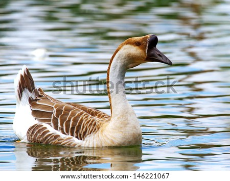 Swan Goose, AVES class, species Ancer cygnoides ALIACE Guinea goose or goose, duck on water, wild goose on water, bird swimming - stock photo