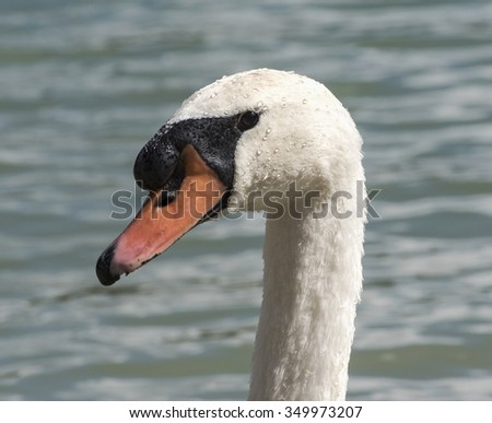swan head with water drops, close up, natural lighting, outdoor photo - stock photo