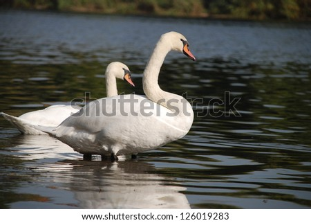 Swan in a lake - stock photo