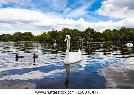 Swan in Hyde Park - stock photo