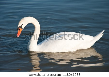 swan in the river - stock photo
