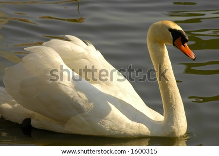 Swan Lake - stock photo