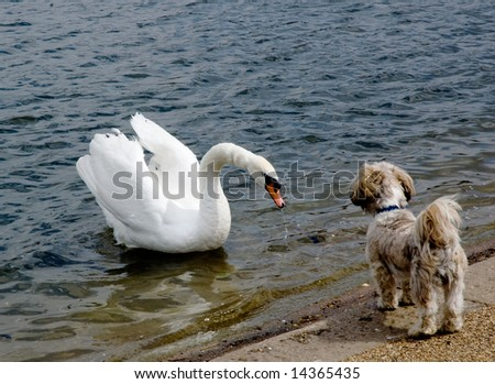 Swan Meets Puppy - Hyde Park, London - stock photo