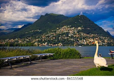 Swan near the Lugano lake,  Switzerland - stock photo