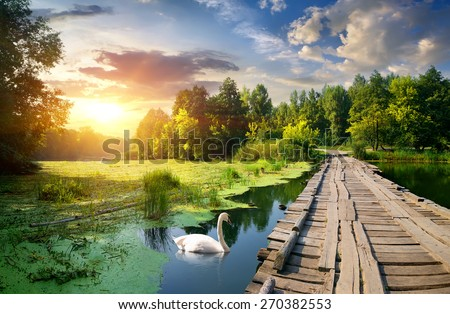 Swan near wooden bridge on river at sunset - stock photo