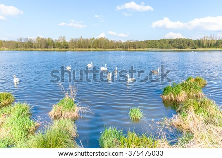 swan on blue lake in sunny day, swans on pond, nature series - stock photo