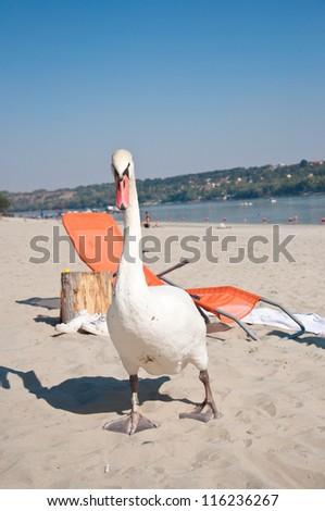 swan on the Danube river coast - stock photo