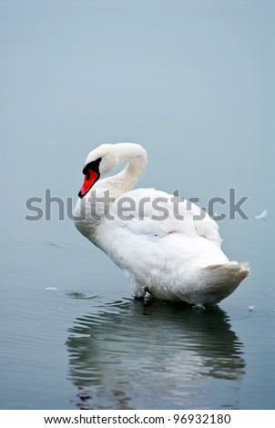 swan on the lake - stock photo