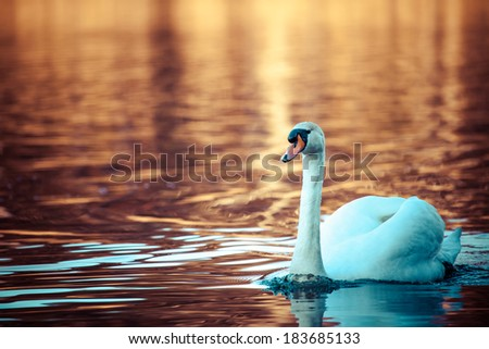 Swan on the lake with orange water background  - stock photo