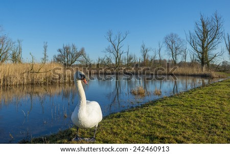 Swan on the shore of a lake in winter - stock photo