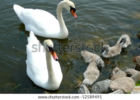 Swan Parents with Cygnets - stock photo