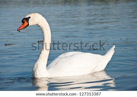 swan posing to the camera - stock photo