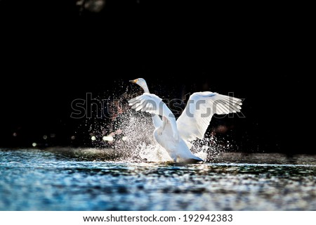Swan rising from water and splashing silvery water drops  - stock photo