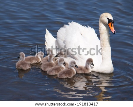 Swan with chicks, Cygnus olor - stock photo