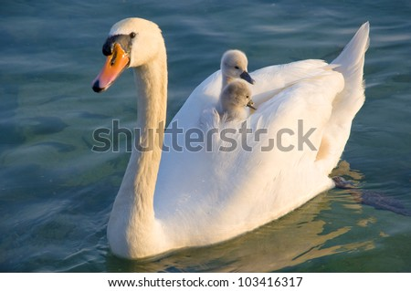 Swan with cups - stock photo