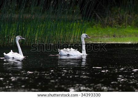 swans - stock photo