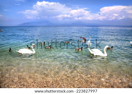 Swans and Ants are swimming in the glassy water at the riverside of the Lago di Garda,Snow-white clouds racking over the luminous blue sky  - stock photo