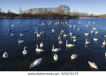 Swans and ducks on the beautiful lake. - stock photo