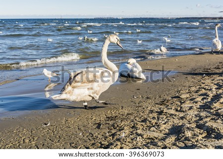 Swans and gulls on the beach by the sea.