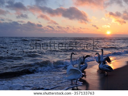 swans and sunrise over the Baltic sea during winter time in Poland - stock photo