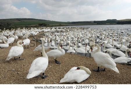 Swans at Abbotsbury Swannery in Dorset - stock photo