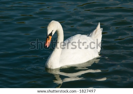 Swans floating in lake. Short distance photo. - stock photo
