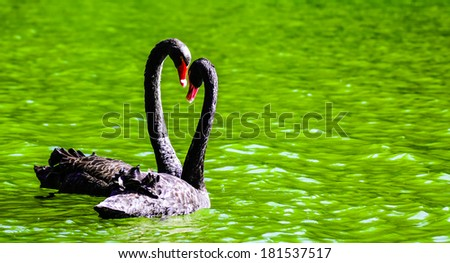 Swans heart in love - stock photo