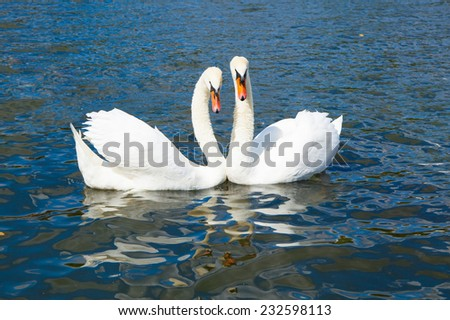 Swans in Hyde park - stock photo