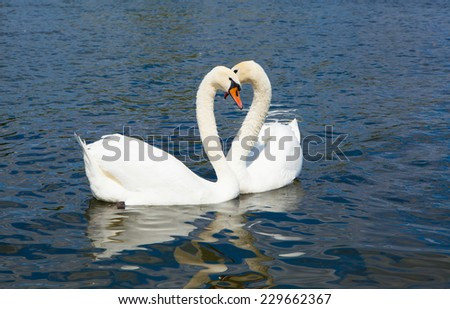 Swans in love, Hyde park lake - stock photo