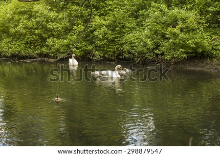 Swans in small river close to Horn pond, America - stock photo