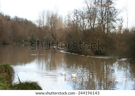 Swans in the lake - stock photo