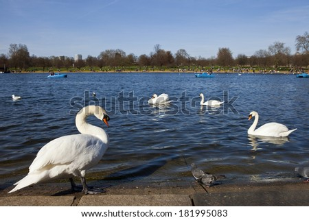 Swans in the Serpentine in Hyde Park, London. - stock photo