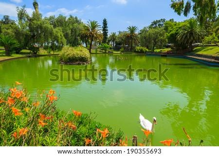 Swans on green water lake in Santa Catarina tropical city park gardens of Funchal, Madeira island, Portugal  - stock photo