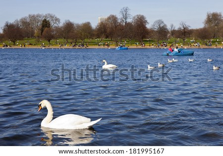 Swans swimming in the Serpentine in Hyde Park, London. - stock photo