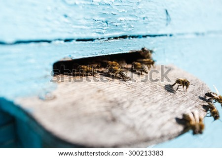 Swarm of bees at the tap-hole of blue wooden hive in a sunny day, with yard on the background, close up - stock photo