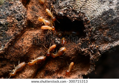 Swarms of termites on wood chips - stock photo