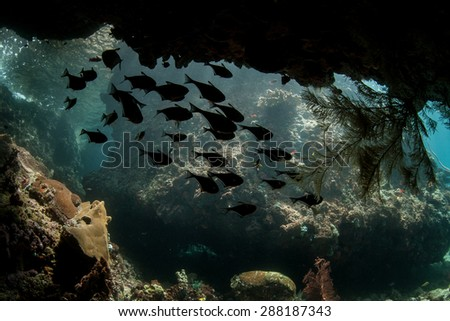 Sweepers hover in the shadows of an underwater cave in Raja Ampat, Indonesia. This area, found off the west coast of Papua, harbors some of the Coral Triangle's most healthy reefs. - stock photo