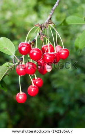 Sweet and Juicily Ripe Cherries on a Tree Branch after rain - stock photo