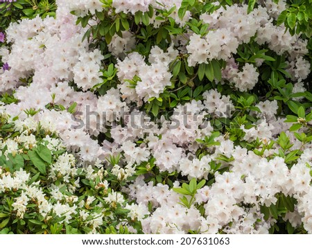 Sweet Azalea (Rhododendron arborescens) blooms in late spring and early summer. They are named Sweet Azalea after their sweet-scented aroma. - stock photo