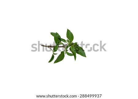 Sweet Basil is an annual plant of the family's kitchen garden, Thailand. - stock photo