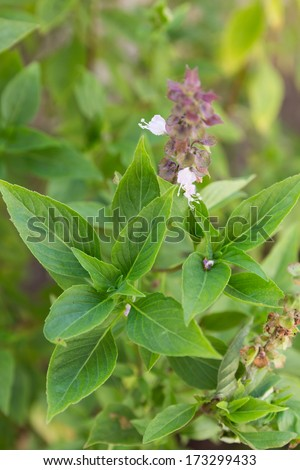 Sweet Basil is green leaves in the thailand - stock photo