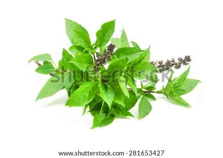 Sweet Basil isolated on white background. - stock photo