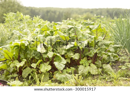 Sweet beet leafs(mangold) in the garden - stock photo