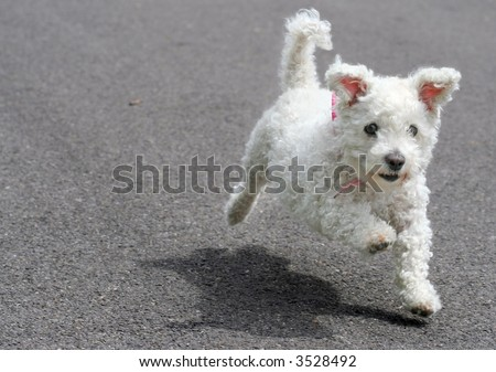 Sweet Bichon Frise dog running - stock photo