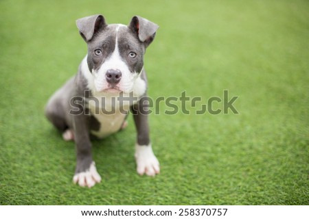 Sweet blue and white pit bull puppy with floppy ears sits outside - stock photo