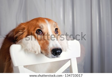sweet border collie dog portrait in studio - stock photo