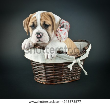 Sweet Bulldog puppy sitting in a basket wearing a heart patterned ribbon on a black background. - stock photo