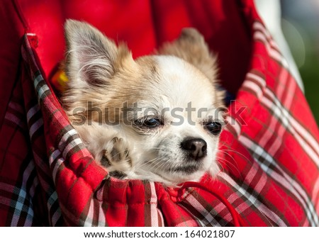 sweet chihuahua dog inside red checkered bag for pet carrier close-up outdoor shot  - stock photo
