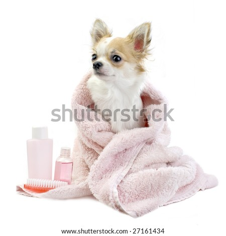 sweet Chihuahua with spa accessories and pink towel isolated on white background - stock photo