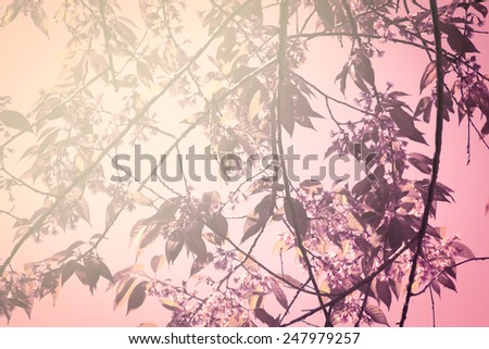 Sweet color branch of Himalayan Cherry (Prunus cerasoides) flower blooming at Chiangmai Thailand - stock photo